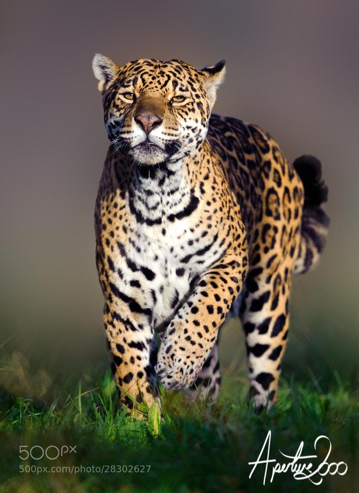 Photograph Jaguar (Panthera onca) by Colin Carter on 500px