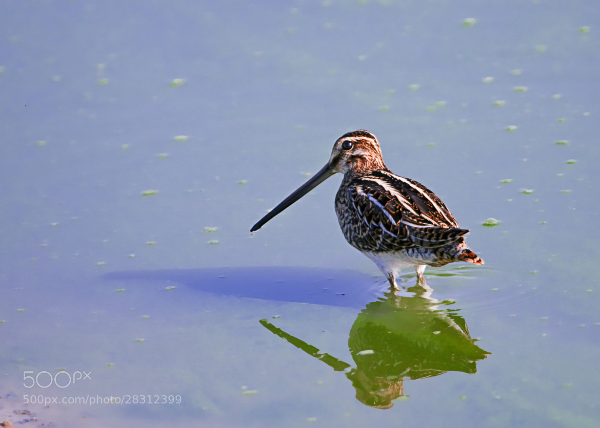 Photograph Common Snipe  by  Michal De-porto on 500px
