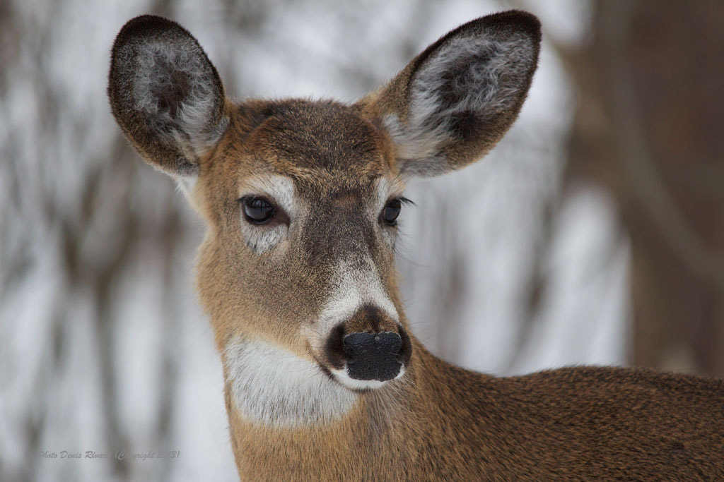 Photograph White-tailed deer by Denis Rivard on 500px