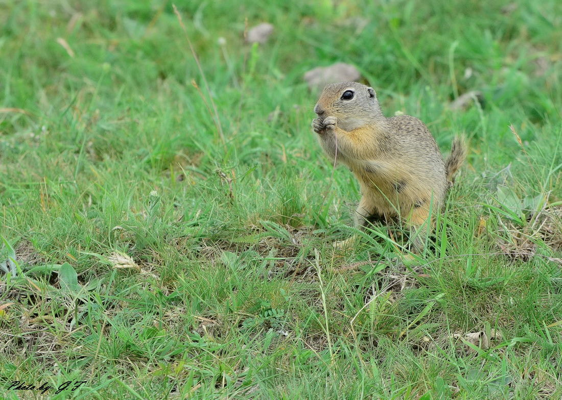 Photograph Ground-squirrel by Ferenc Gelencsér on 500px