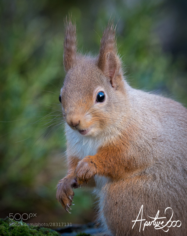 Photograph Red Squirrel by Colin Carter on 500px