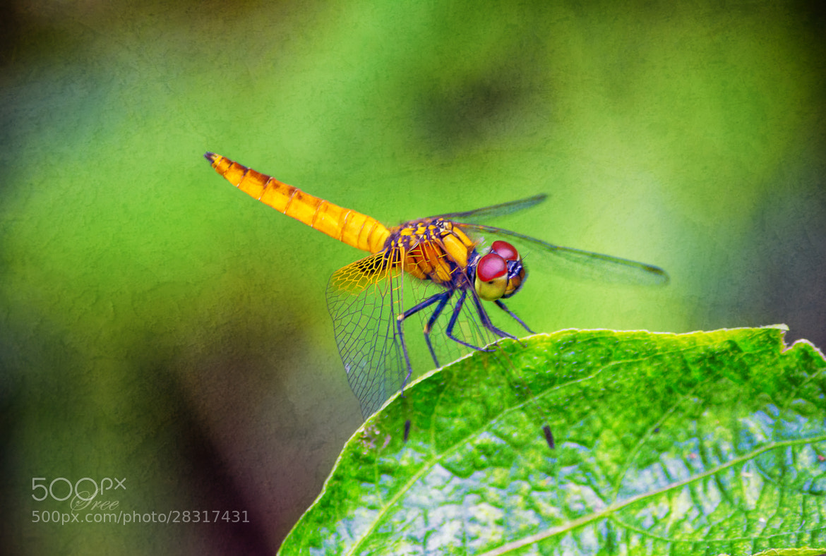 Photograph Dragon fly by Sreekumar  Mahadevan Pillai on 500px