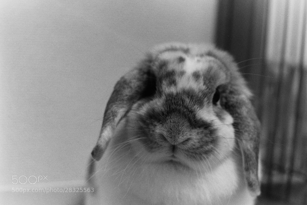 Photograph The monochrome lop by rabbit portraits on 500px