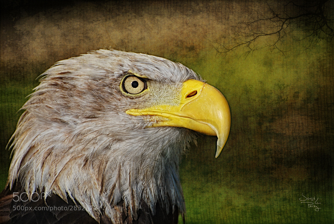Photograph Aguila Real Americana by Jose Luis Perez on 500px