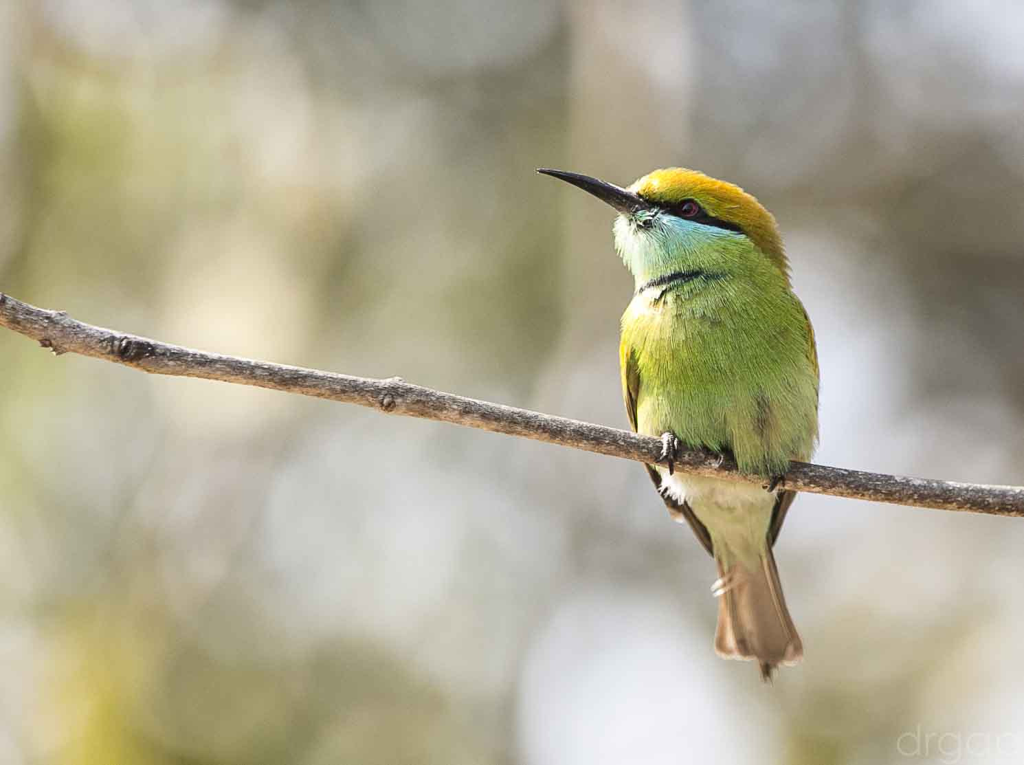 Photograph Green Bee Eater by Gunjan  Puri on 500px