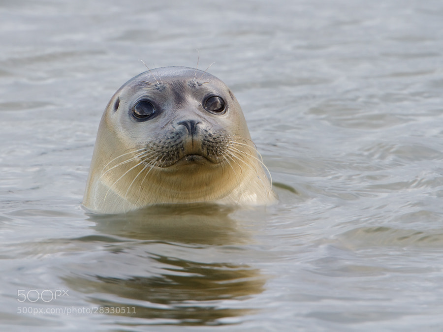 Photograph Grey seal by Jan Westerhof on 500px
