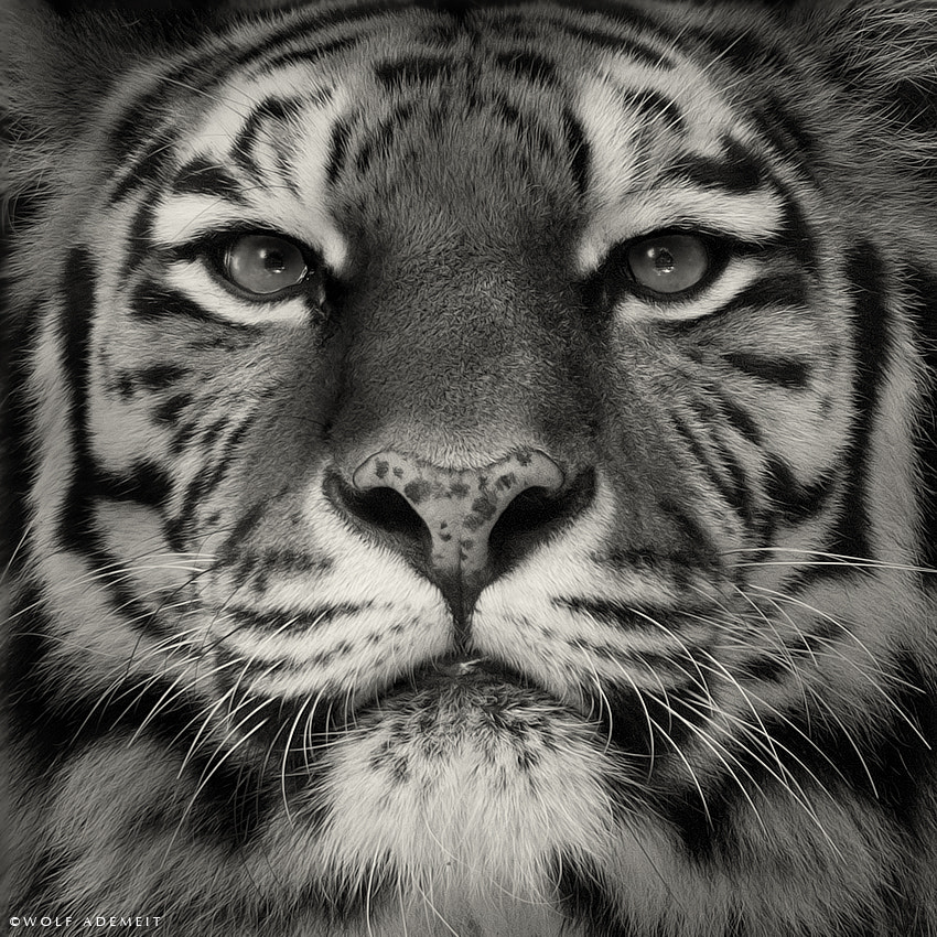 Photograph EYE OF THE TIGER by Wolf Ademeit on 500px