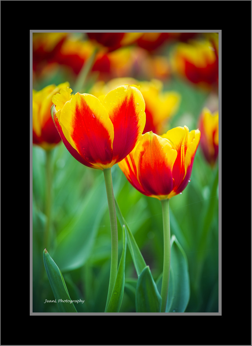 Photograph Tulips by Jean Li on 500px