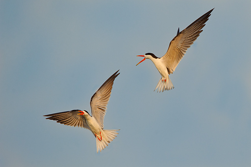 Photograph African Skimmers by Brendon Cremer on 500px