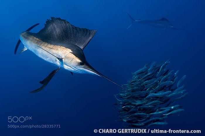 Photograph Sailfish by Charo Gertrudix on 500px