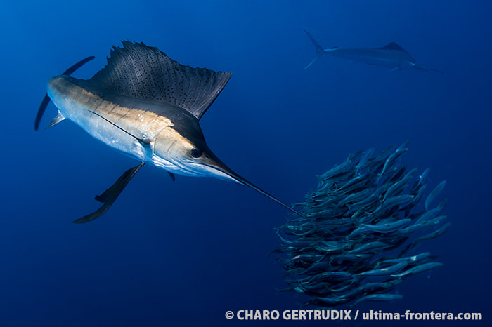 Photograph Sailfish by Charo Gertrudix on 500px