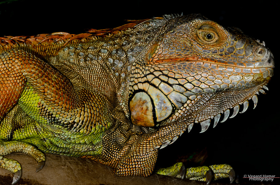 Charlie is a male Iguana Iguana living in Oslo Reptilpark.