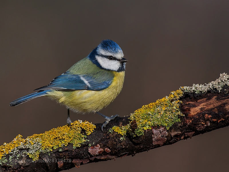 Photograph Blue tit  by dave blackwell on 500px