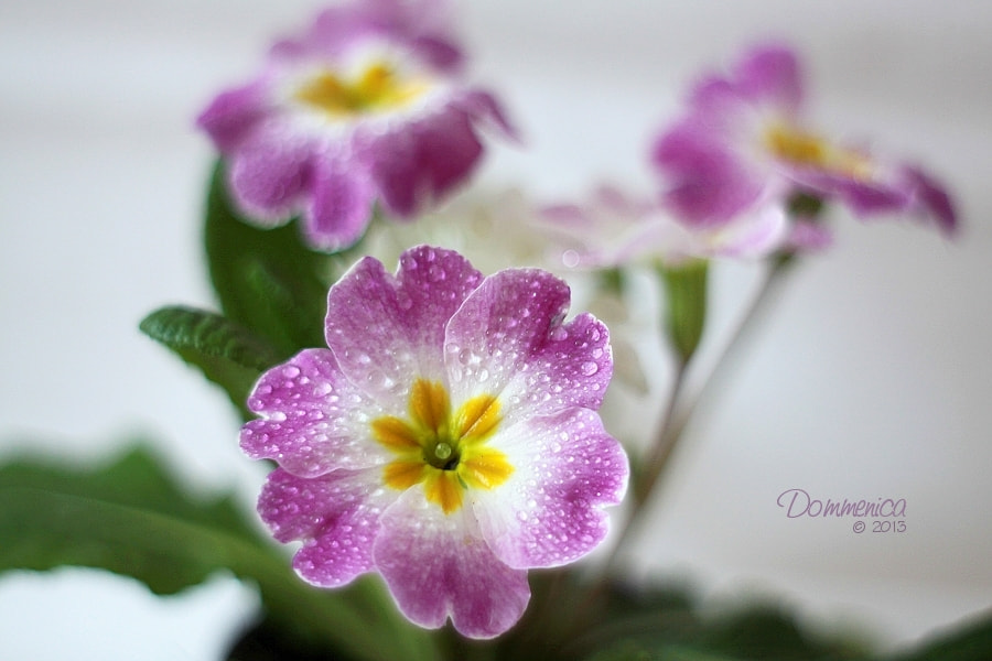 Photograph Primrose by Dommenica on 500px