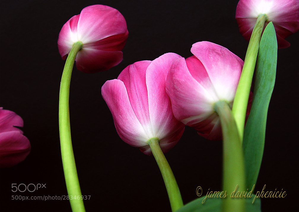 Photograph Tulip Series #7 by James David Phenicie on 500px