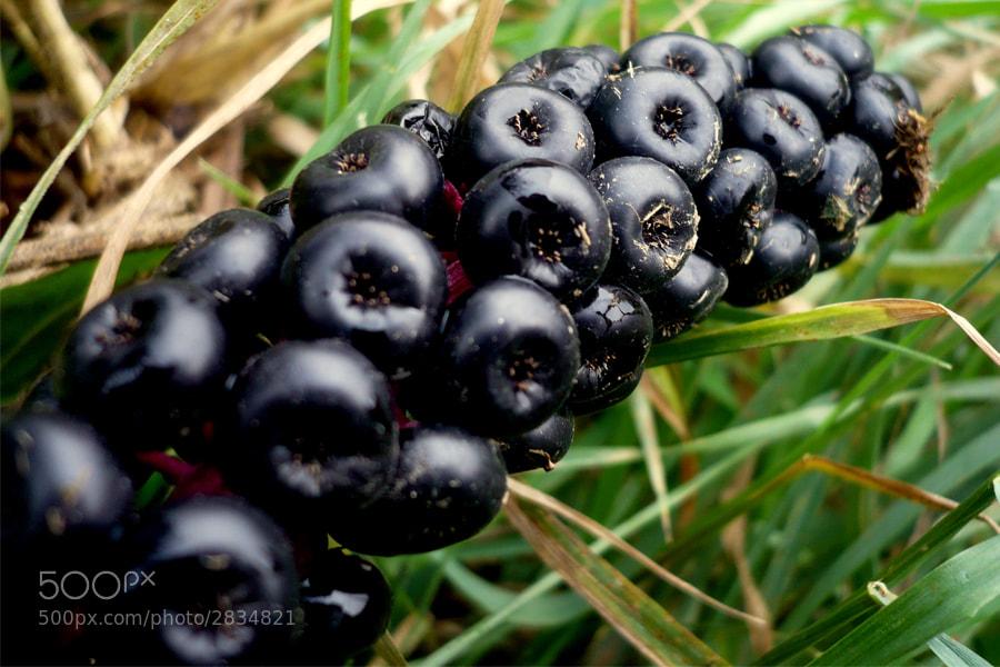 Photograph Berries by László Reszegi on 500px