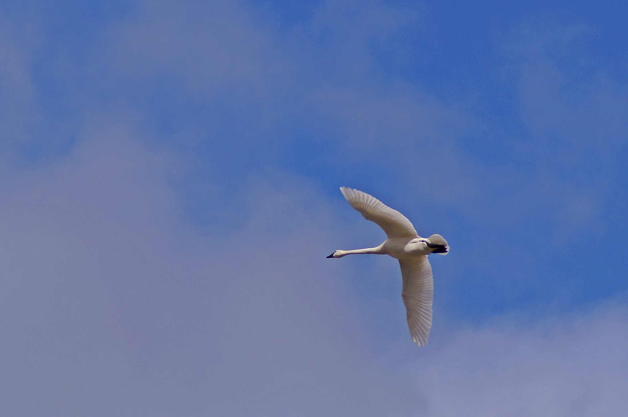 Photograph     Migrating Tundra Swan    by Cherylorraine Smith on 500px