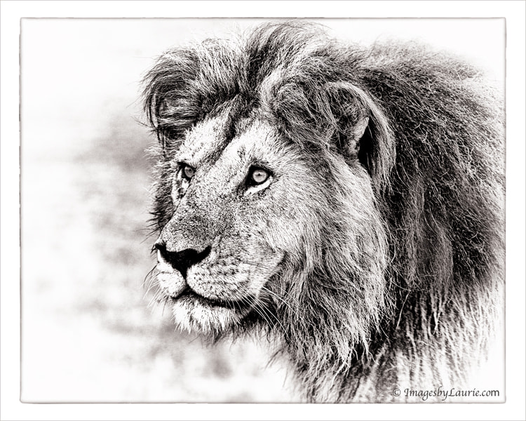 Portrait of Notch the Lion
