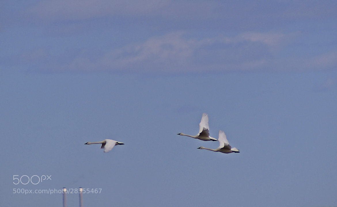 Photograph Tundra Swans by cherylorraine smith on 500px