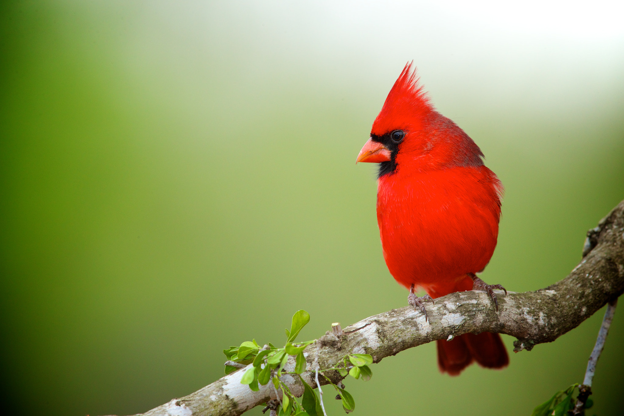 Photograph Classic Northern Cardinal by Brian Didrikson on 500px