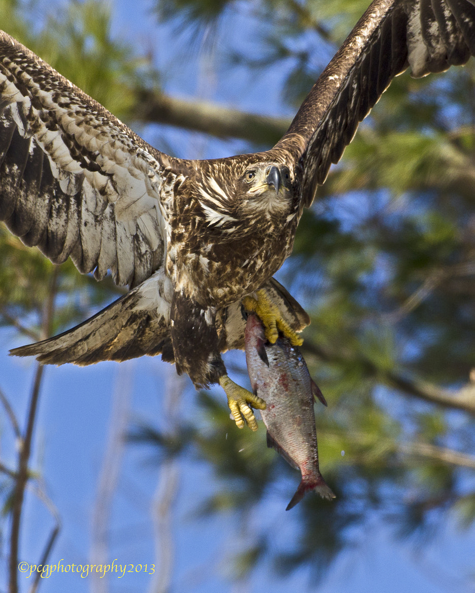Photograph Immature Bald Eagle with Dinner by Peter Giraudin on 500px