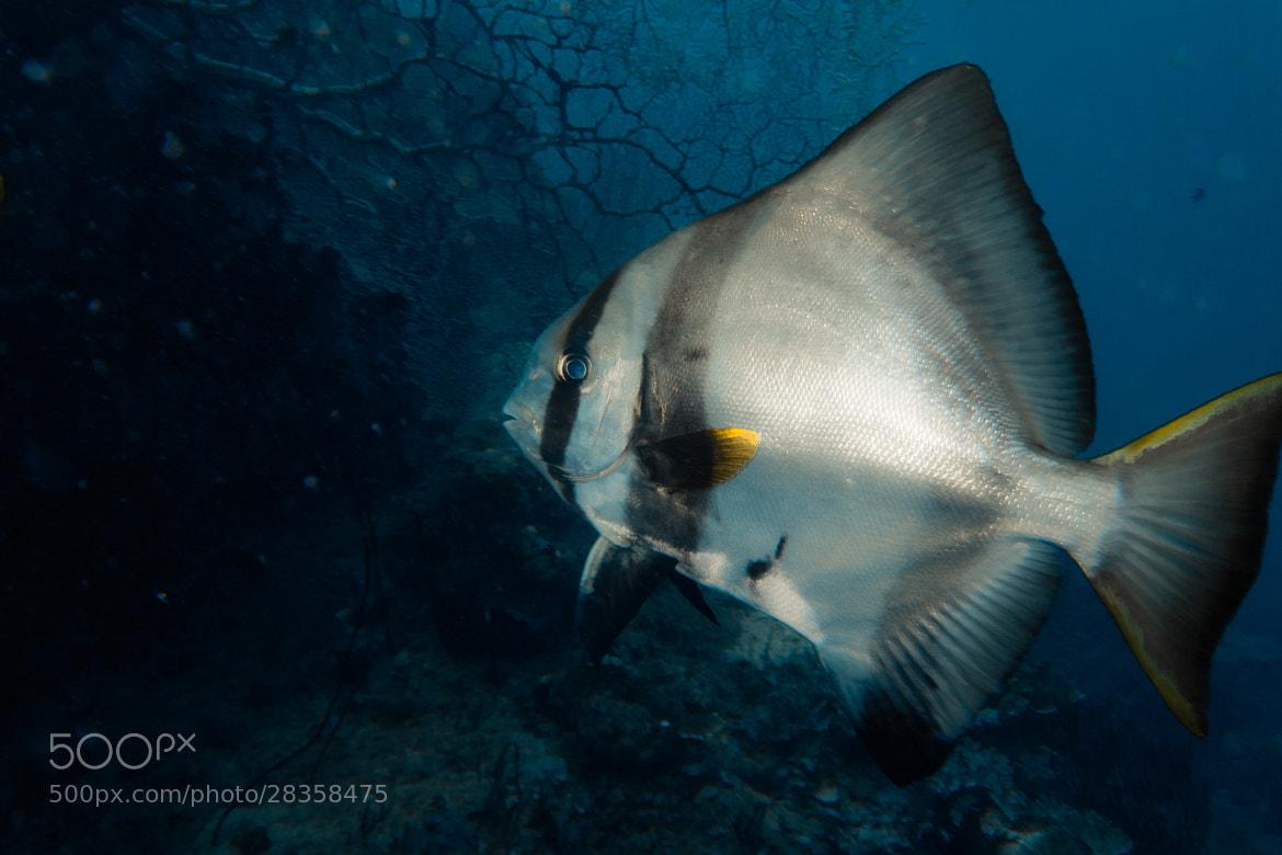 Photograph Bat Fish Begins by Yamaoka Chiko on 500px