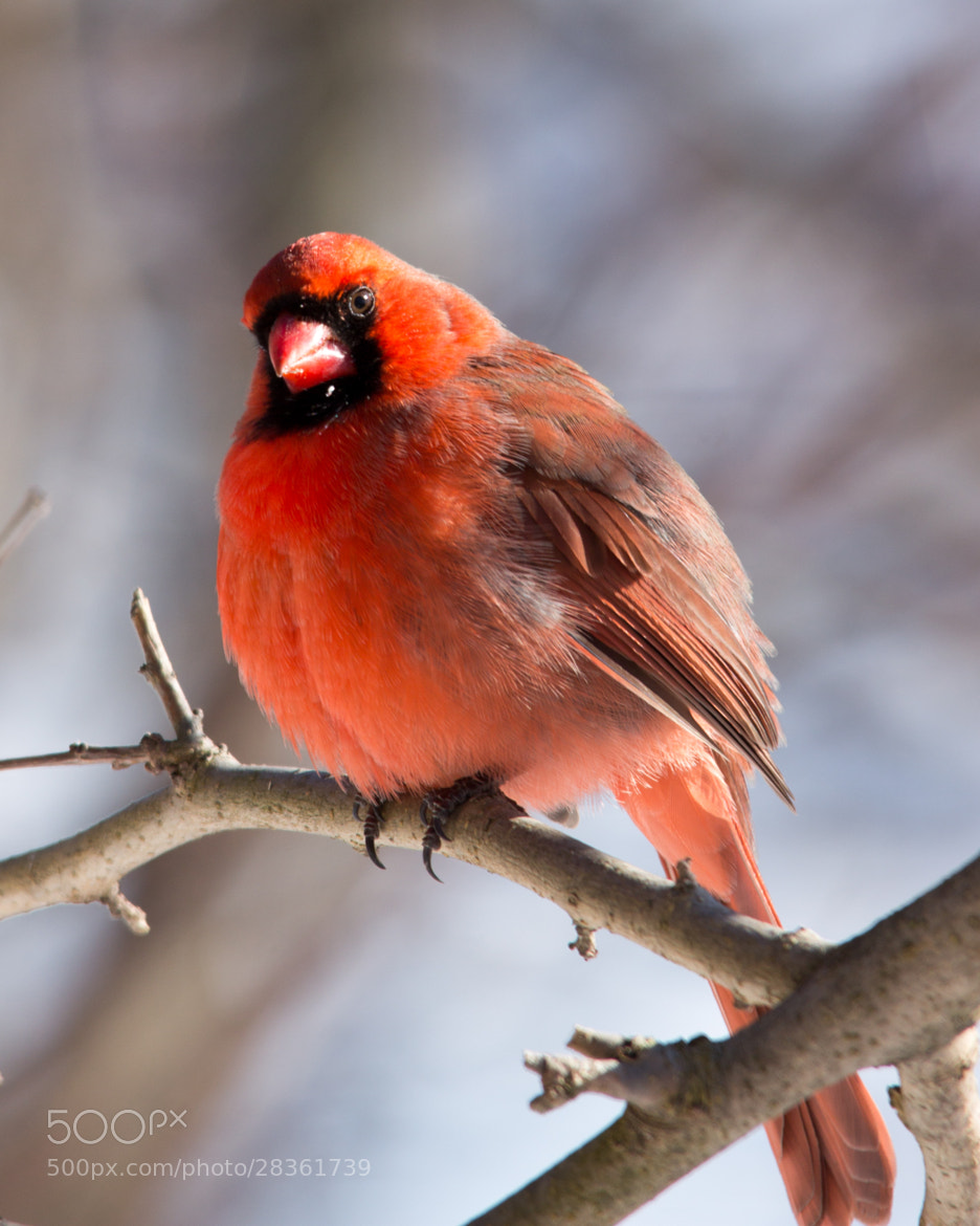 Photograph Cardinal by Gail MacLellan on 500px