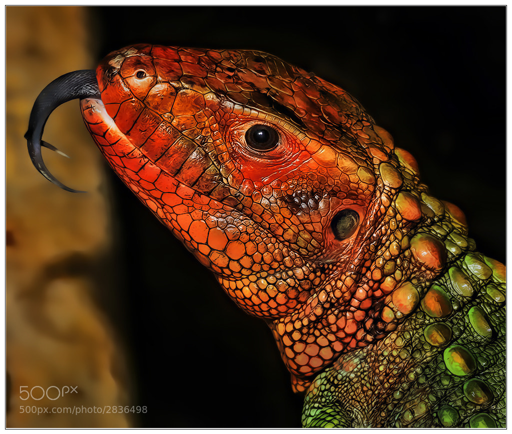 Photograph Northern Caiman Lizard by Klaus Wiese on 500px