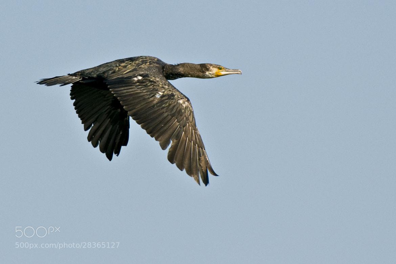 Photograph Cormorant by Daniel Calin on 500px