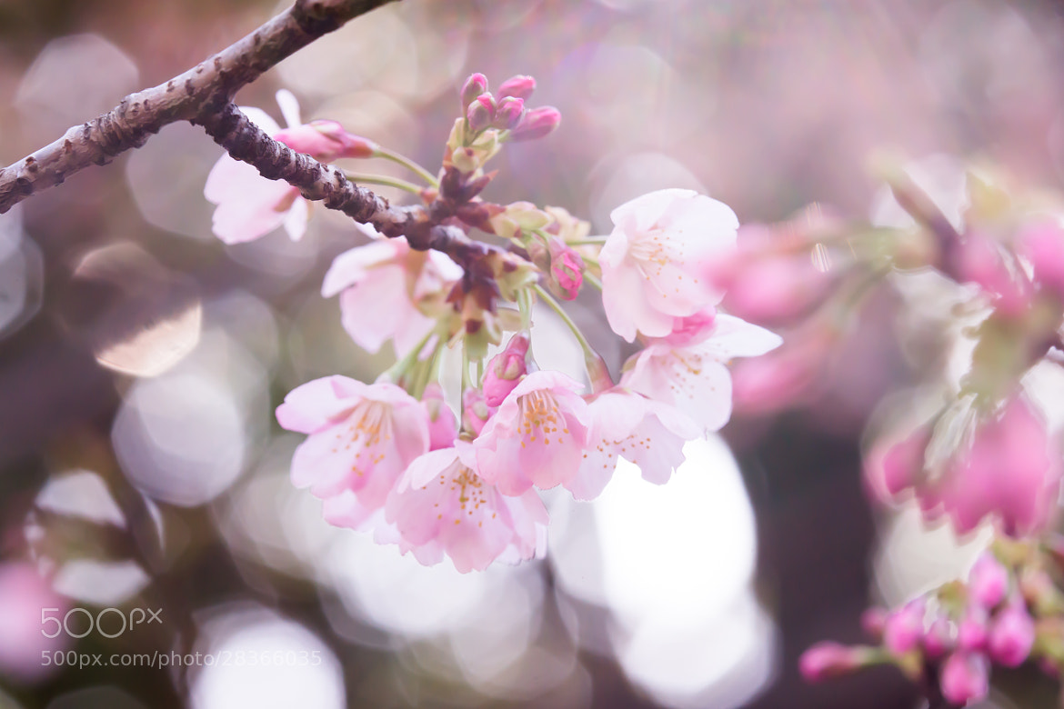 Photograph 大寒桜 by marbee .info on 500px