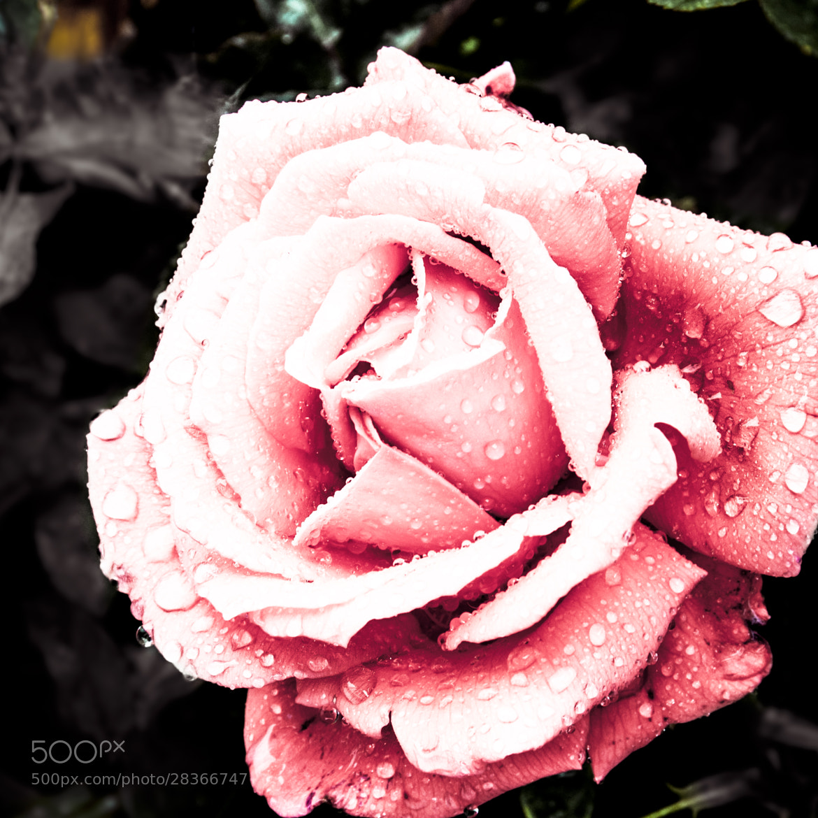 Photograph Rustys Rose II by Russ Meder on 500px