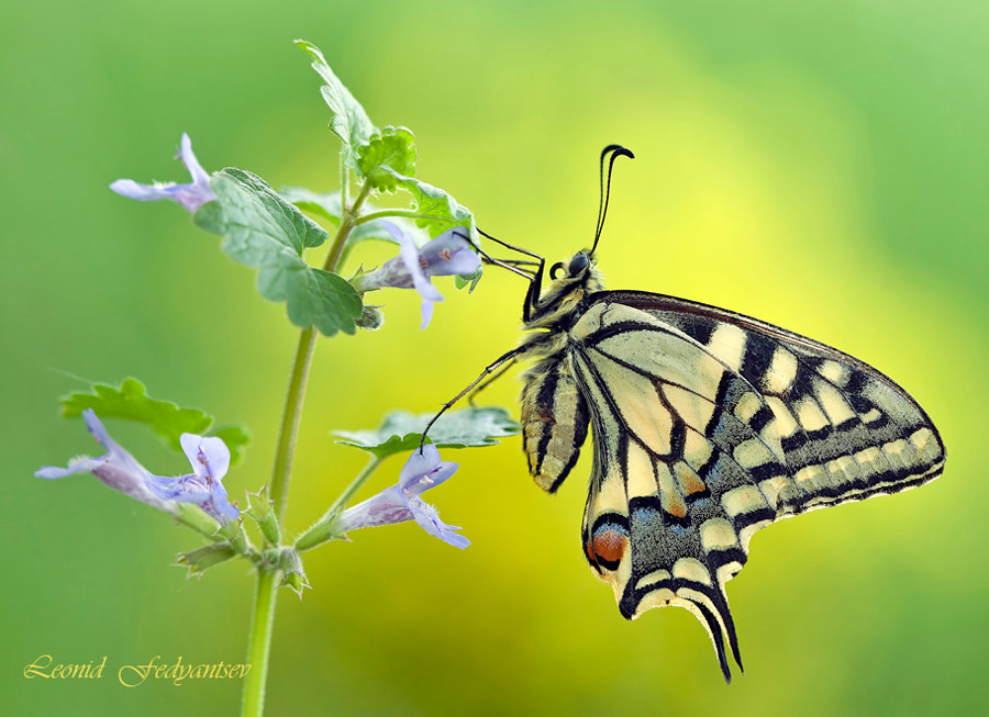 Photograph Portrait Of A Lady Swallowtail by Leonid Fedyantsev on 500px