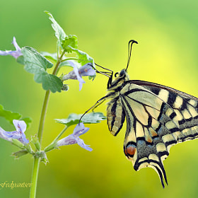 Portrait Of A Lady Swallowtail
