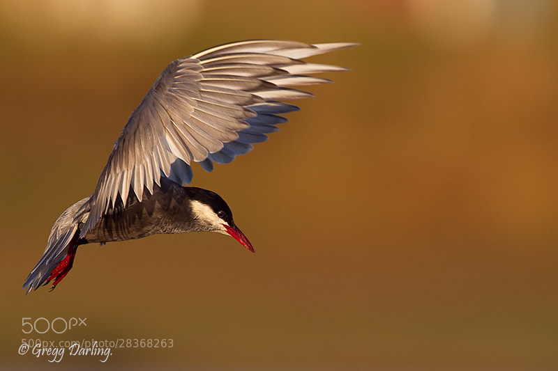 Photograph Whiskered Tern by Gregg Darling on 500px
