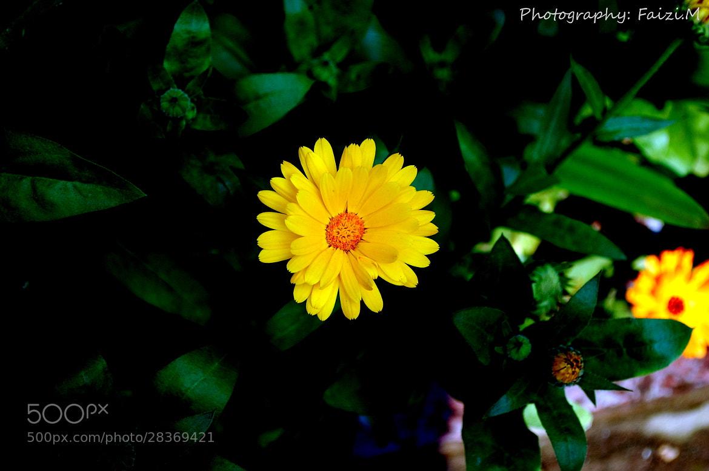 Photograph Sun Flower by Faizan Mubasher on 500px