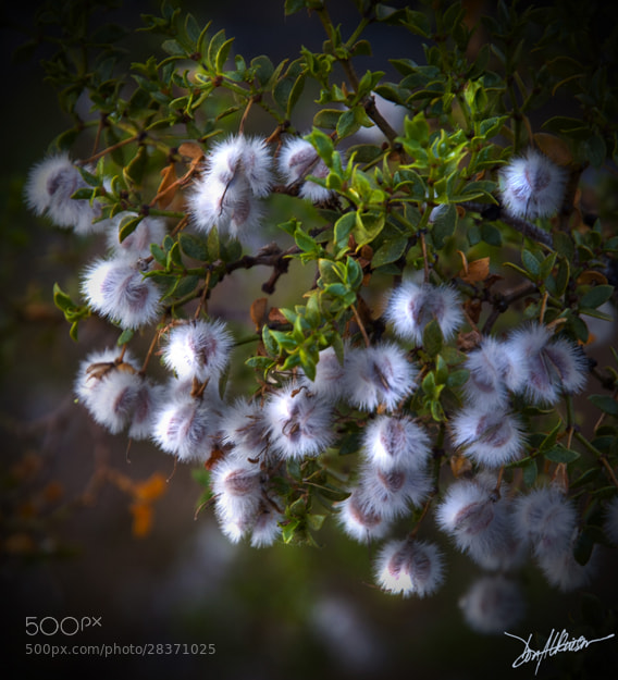 Photograph Creosote Puffs 3 by Donald Atkinson on 500px