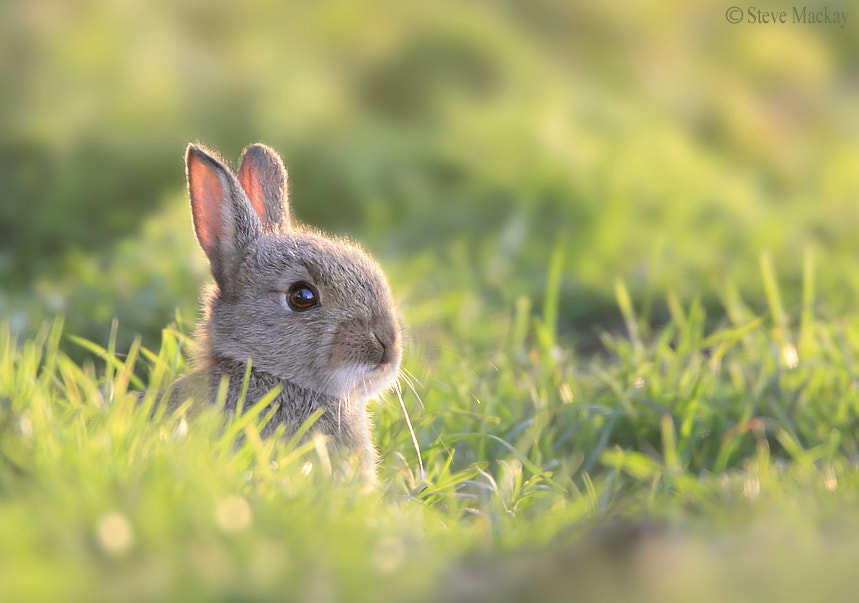 Photograph Young Rabbit by Steve Mackay on 500px