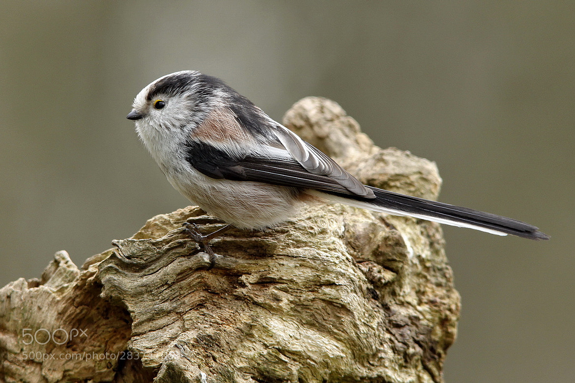 Photograph Long-tailed Tit by pieterbj van den berg on 500px