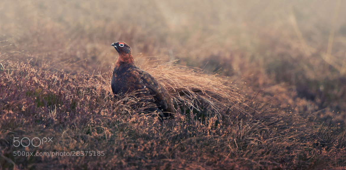 Photograph Red Grouse! by Sue Demetriou on 500px