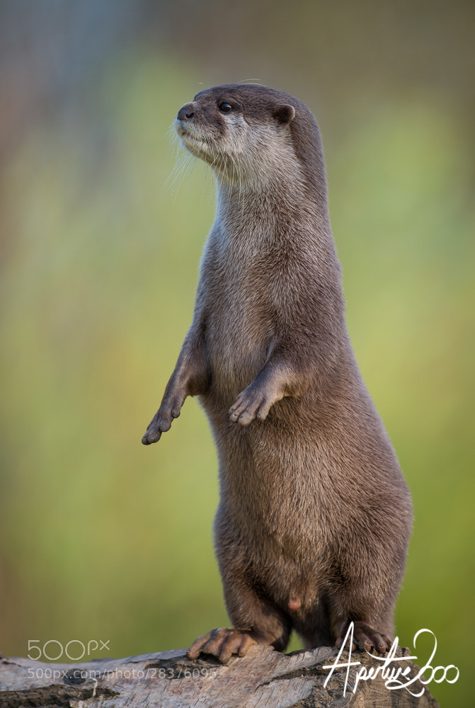 Photograph Male Otter by Colin Carter on 500px