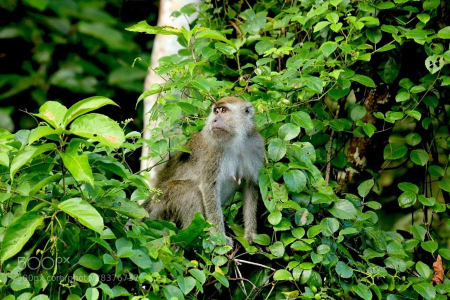 Proboscis Monkeys were not the only monkeys along this river...