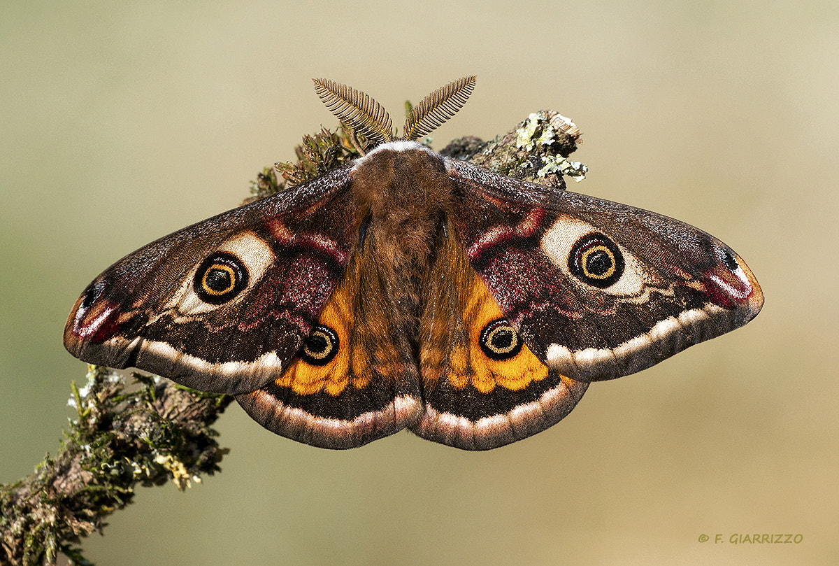Photograph Small Emperor Moth by Fabio Giarrizzo on 500px