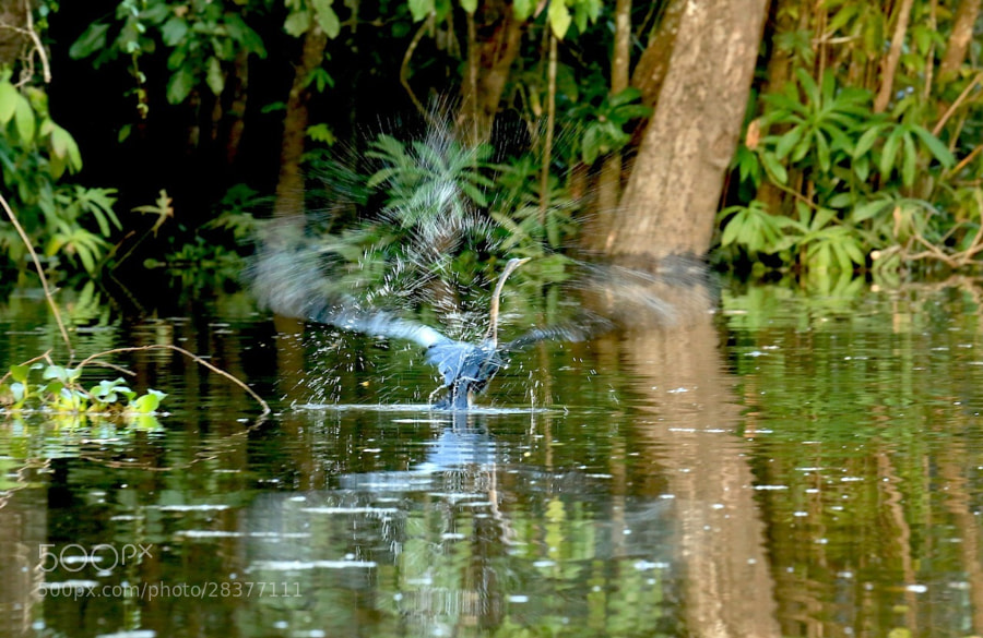 a purple heron taking off..