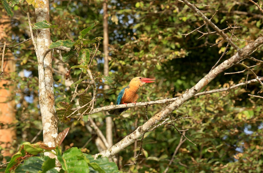 """one of my favourite birds: the Kingfisher, but this one was a huge Hornbill Kingfisher, and a pretty loud fellow as well, but he seemed to be """"singing"""" and not minding our boat :)"""