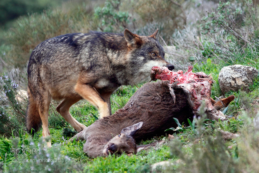 Photograph Iberian Wolf by Andrés López on 500px