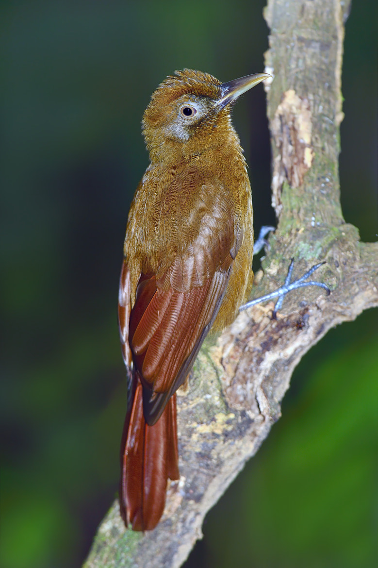 Photograph Plain-brown Woodcreeper by Tony Beck on 500px