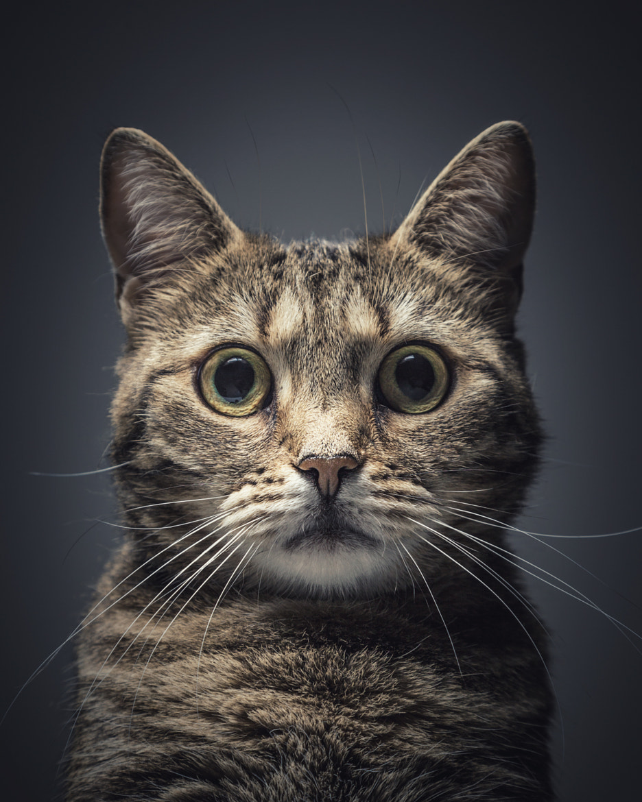 Photograph Cat Portrait by Daniel Keller on 500px
