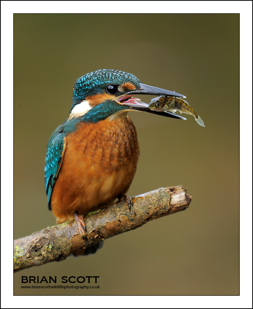 Photograph Kingfisher by Brian Scott on 500px