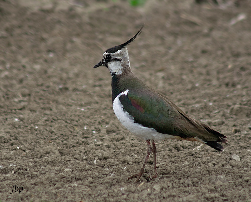 Photograph Curious Lapwing by Dave Smith on 500px