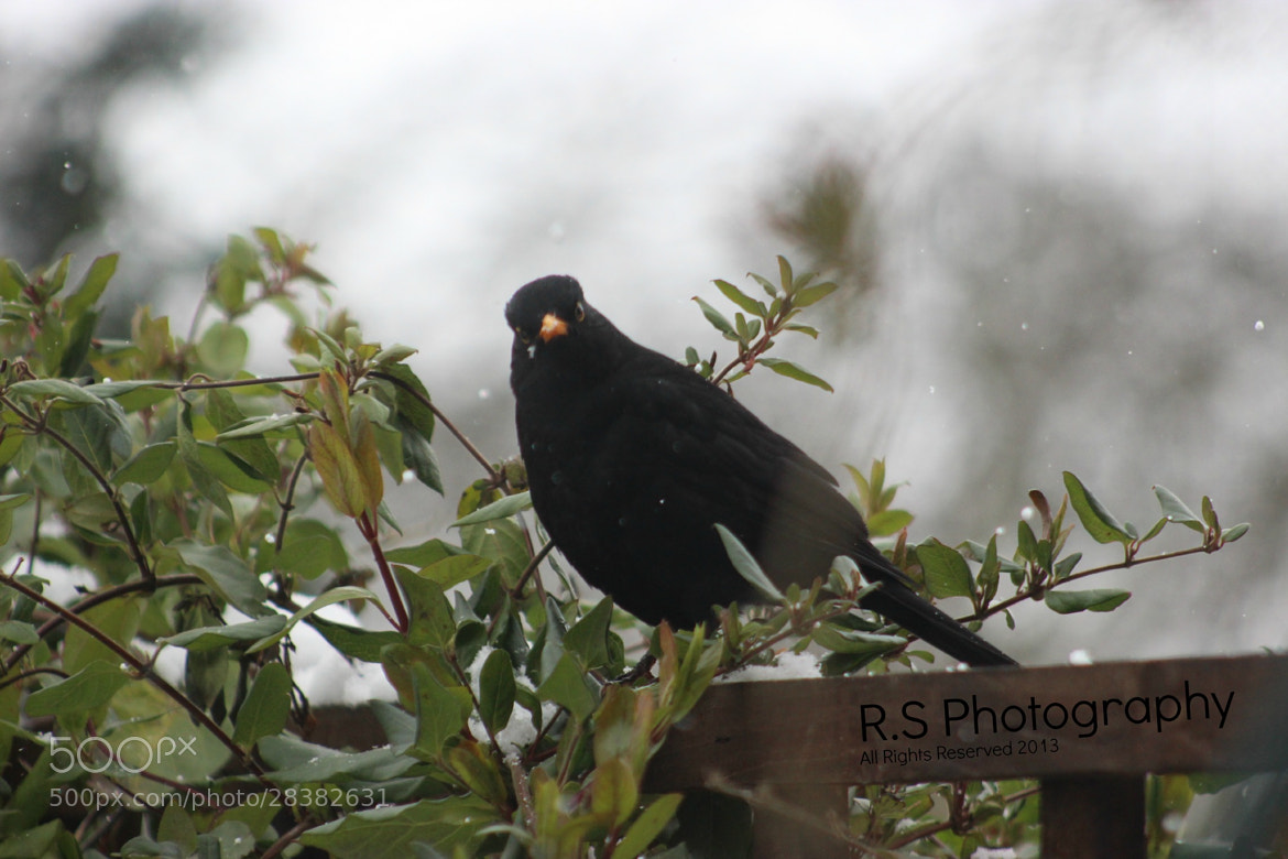 Photograph Oh, Hello Mr Blackbird by Ryan Spicknell on 500px